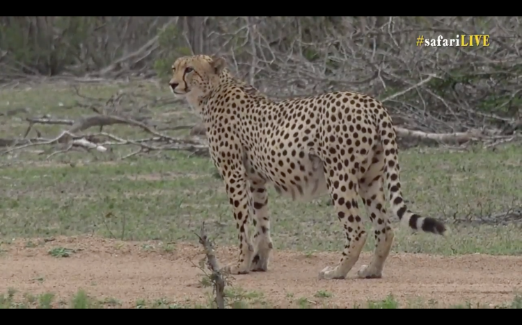 A screenshot of a beautiful cheetah on Wild Safari Live. Watch at www.wildsafarilive.com.