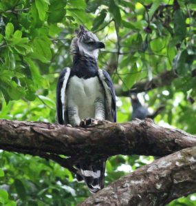 By this time next year, I hope to be sharing my own photos from Guyana with all of you. Harpy Eagle 121113 Harpia harpyja by Dave Curtis. CC BY-NC-ND 2.0