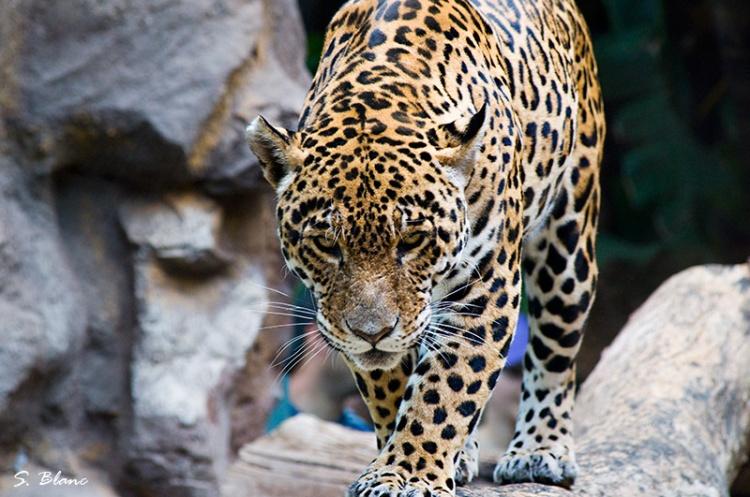 Jaguar by Sergio Blanc. CC BY-NC-SA 2.0