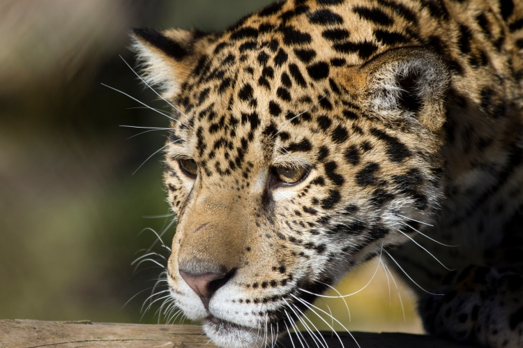 Note: this is NOT the jaguar who was recently photographed. Jaguar by Nathan Rupert, CC BY-NC-ND 2.0