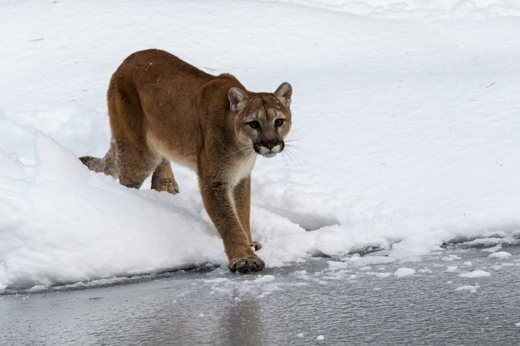 I appreciated being able to talk abut mountain lions with someone who had grown up around them. Mountain lion by Outward_bound. CC BY-NC-ND 2.0