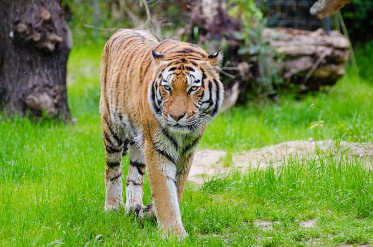 Tiger by Mathias Appel. CC0 1.0 Public Domain.
