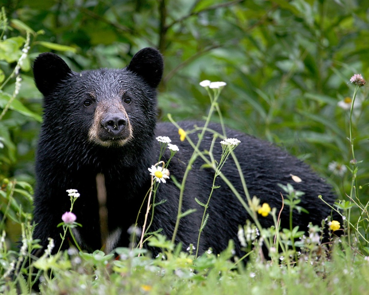 Trespass marijuana growers' primary targets are black bears. Can you imagine how much rat poison it takes to kill such a large animal? Black Bear by Jitze Couperus. CC BY 2.0