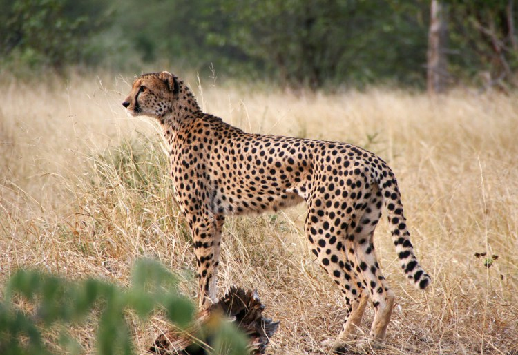 Cheetah by Ulrika. CC BY-ND 2.0