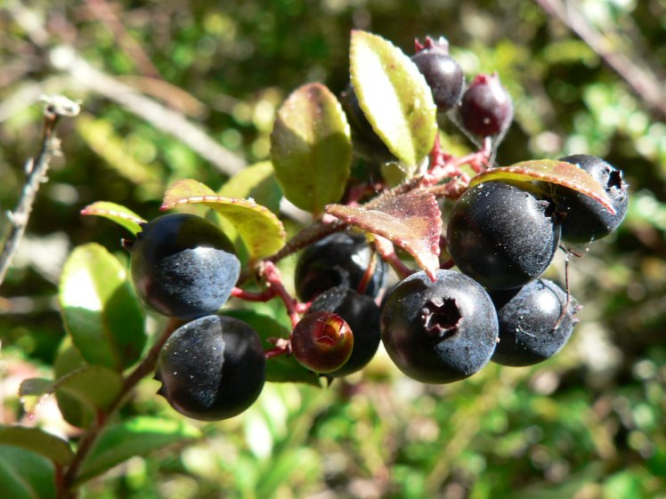 Huckleberries are every bit as delicious as they look. Huckleberries by OutdoorPDK. CC BY-NC-SA 2.0
