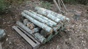 A pile of tanoak logs, which Kyle was using to experiment with growing fungi.