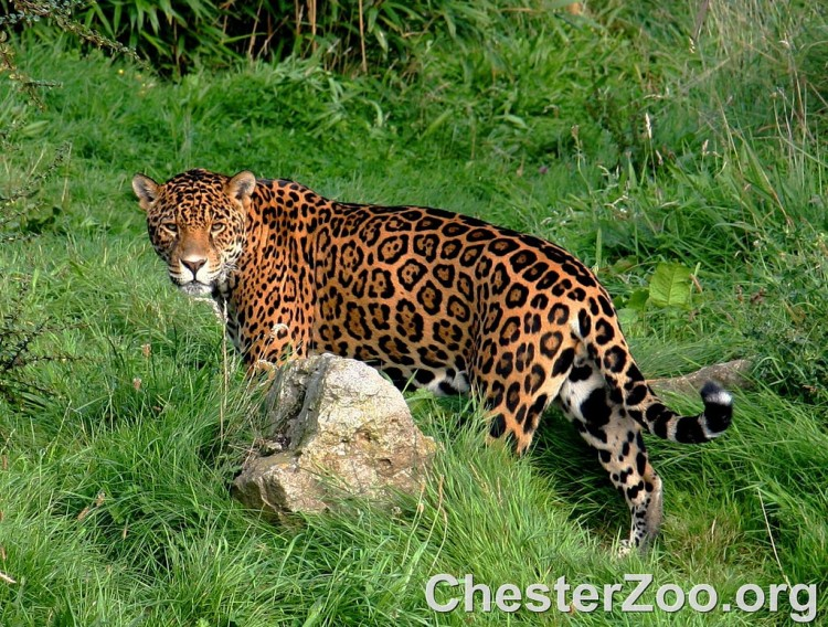 Jaguar by Chester Zoo. CC BY-ND 2.0