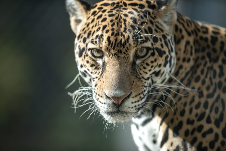 Jaguar Looking at Camera by Eric Kilby. CC BY-SA 2.0