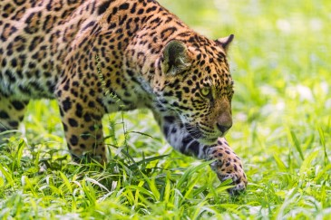 Walking Young Jaguar by Tambako the Jaguar. CC BY-ND 2.0