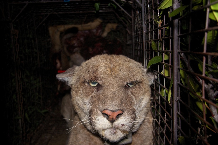 In March 2014, celebrity mountain lion P22 tested positive for anti-coagulant rodenticides. Here is a photo of him suffering from mange. P22 Mange by the National Park Service. Public Domain.