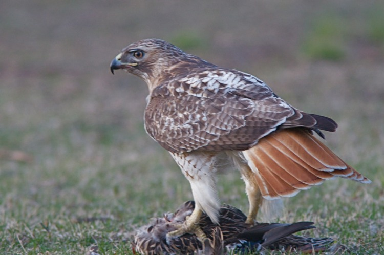 Red-tailed Hawk with Mallard Prey by Henry T. McLin. CC BY-NC-ND 2.0