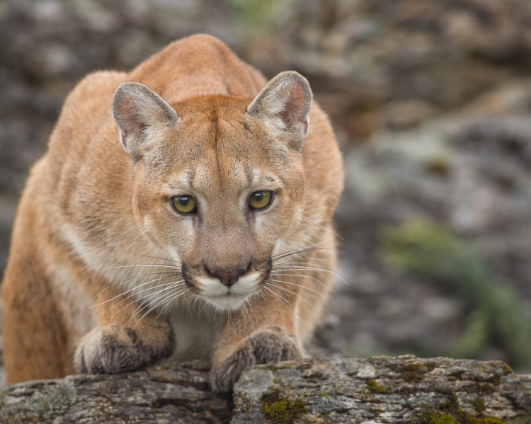 I do not think any censuses have been performed recently, but mountain lions (Puma concolor) appear to be plentiful in the Mattole. TD Mountain Lion-414-Edit-Edit by Frank Weigel. CC BY-NC-ND 2.0
