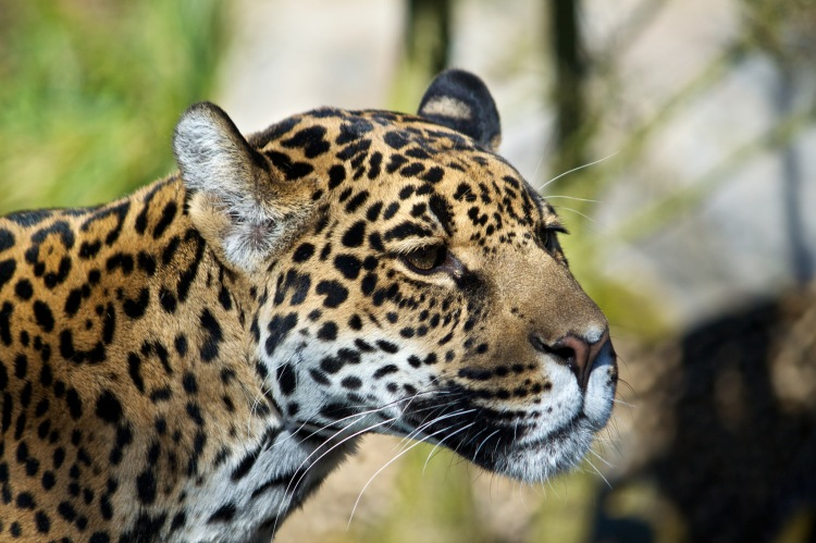 I have been quite clear about my intention of focusing on the human dimensions of jaguar conservation. I will not give up on this. I am also too committed to the idea of studying in Guyana to back out now. Jaguar by Michelle Bender. CC BY-NC-ND 2.0