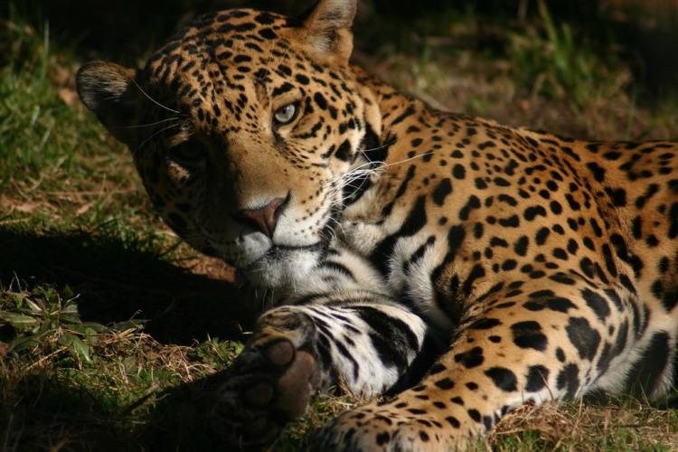 Jaguar by Rachel. CC BY-NC-ND 2.0
