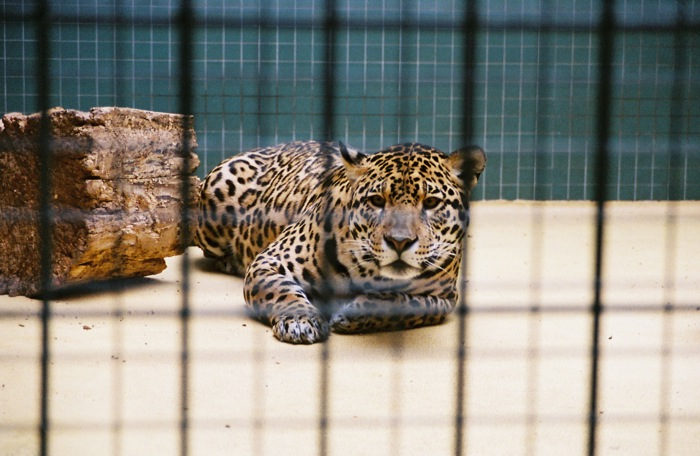 The proposed border wall would effectively trap jaguars and other wildlife south of the border. Jaguar by Martin Strauss. CC BY-NC-SA 2.0