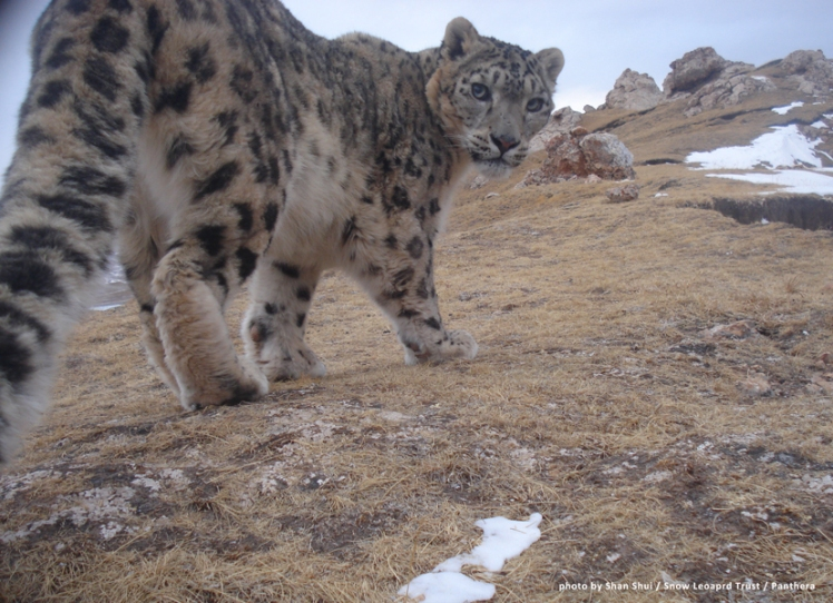 A picture of a snow leopard (Panthera uncia) taken by a camera trap. China 4 by Snow Leopard Trust. CC BY-NC-SA 2.0