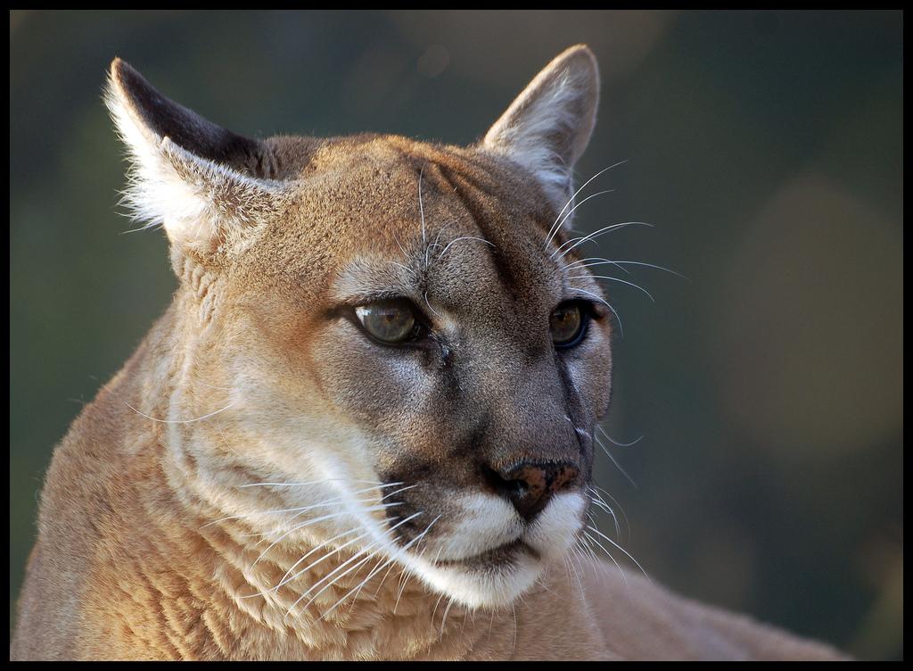 11f63e61d6a1 The Puma  The Epitome of Adaptability – The Jaguar