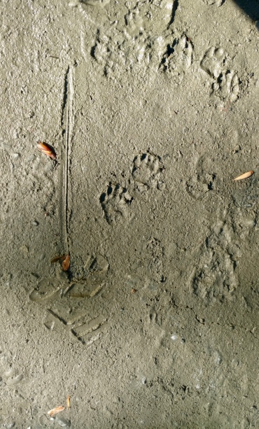 A couple of skunk tracks we found in the mud.
