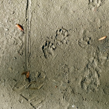 While my time at Humboldt State had led to some great experiences, I was ready to get on with my life. Here are some skunk tracks I saw during an Acoustic Ecology workshop.