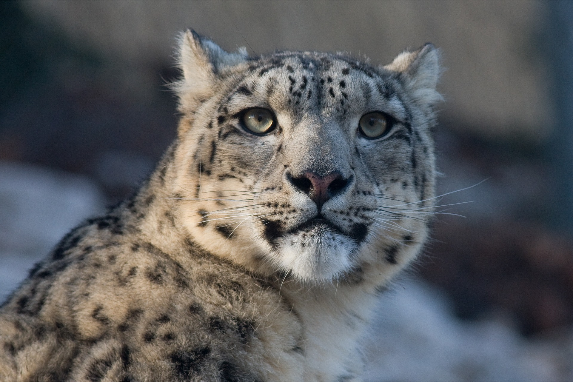 the snow leopard The snow leopard, known for its beautiful, thick fur, has a white, yellowish or soft  gray coat with ringed spots of black on brown the markings help camouflage it.