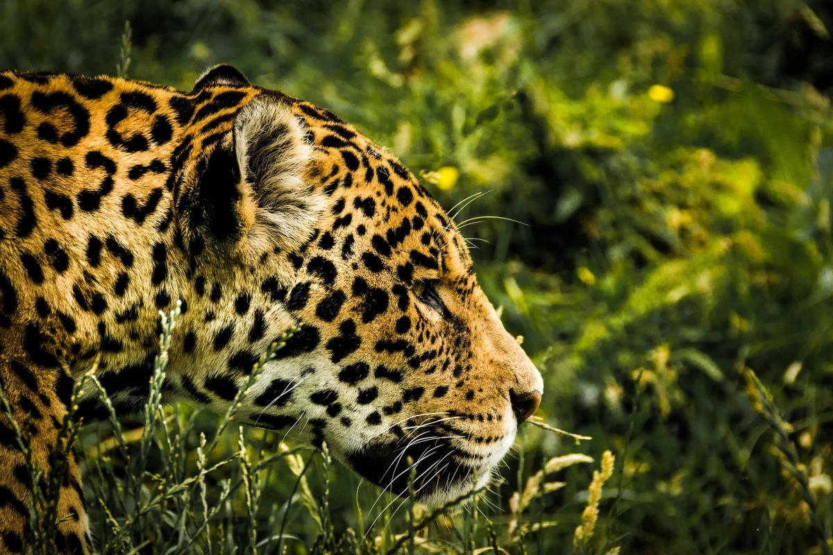 New Study Released About the Human Dimensions of Jaguar and Puma Conservation