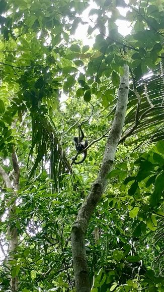 A spider monkey (Ateles geoffroyi) watching my group and I at Hun Tun.