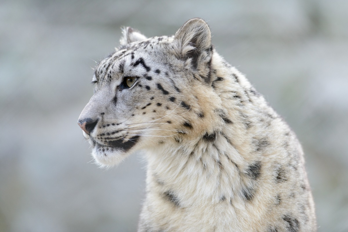 It's International Snow Leopard Day!