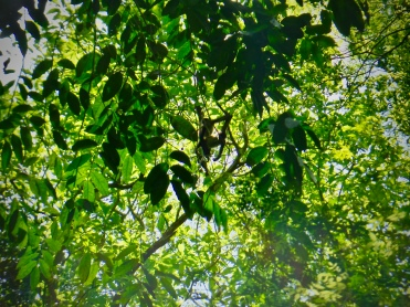 Two spider monkeys (Ateles geoffroyi) that visited my archaeology team and I on June 8, 2017.
