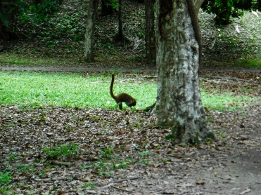 The coatimundi (Nasua narica) I saw at Tikal.