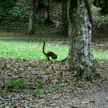The coatimundi (Nasua narica) I saw at Tikal.