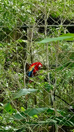 A scarlet macaw (Ara macao) at the Belize Zoo.