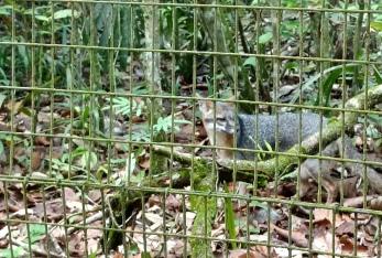 A grey fox (Urocyon cinereoargenteus) at the Belize Zoo.
