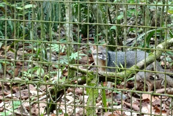 A grey fox (Urocyon cinereoargenteus) at the Belize Zoo.