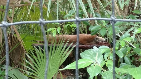 A sleeping puma (Puma concolor) at the Belize Zoo. Unfortunately, I wasn't able to get a shot of its face.