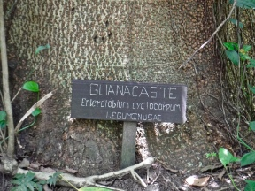 This is what the bark of a guanacaste tree looks like.