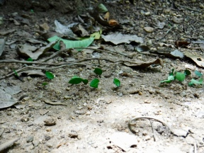 Leaf-cutter ants were everywhere in the jungle!