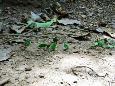 Leaf-cutter ants were everywhere in the jungle!