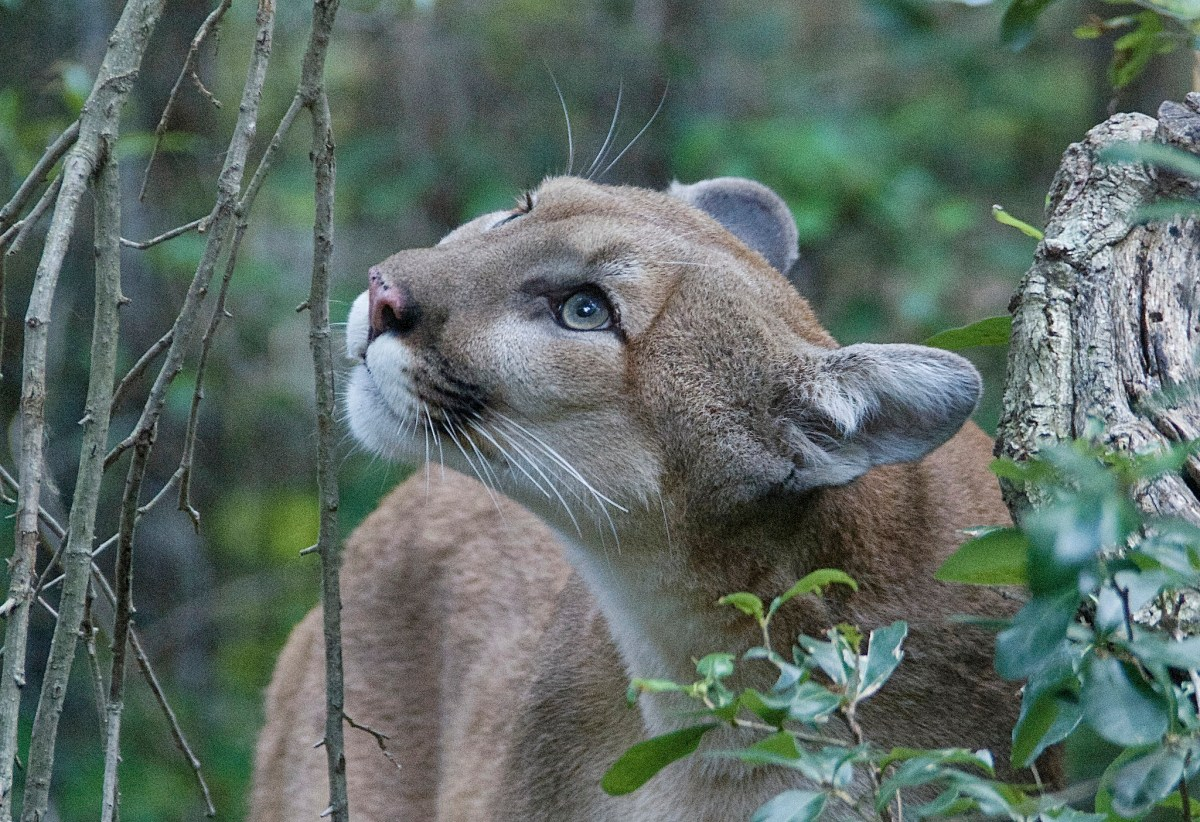 Nebraska's Proposed Puma Hunt Threatens the Species' Eastward Expansion
