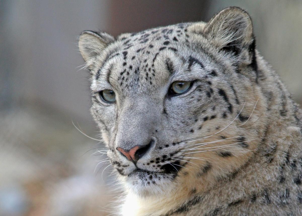Snow leopard poaching - photo#37