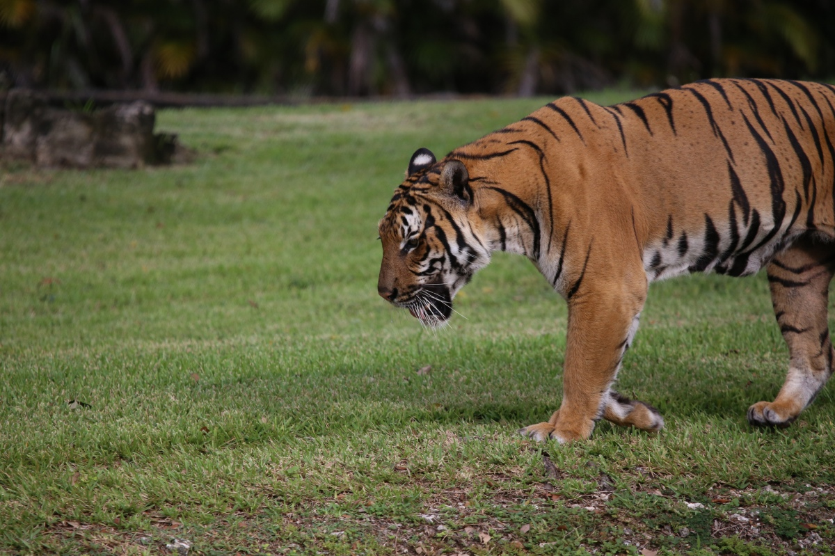 First Interstate Tiger Translocation Completed in India