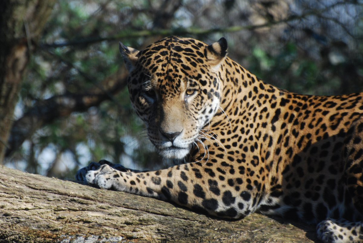 The Complexities of Perceptions about Jaguars' Impacts on Human Livelihoods