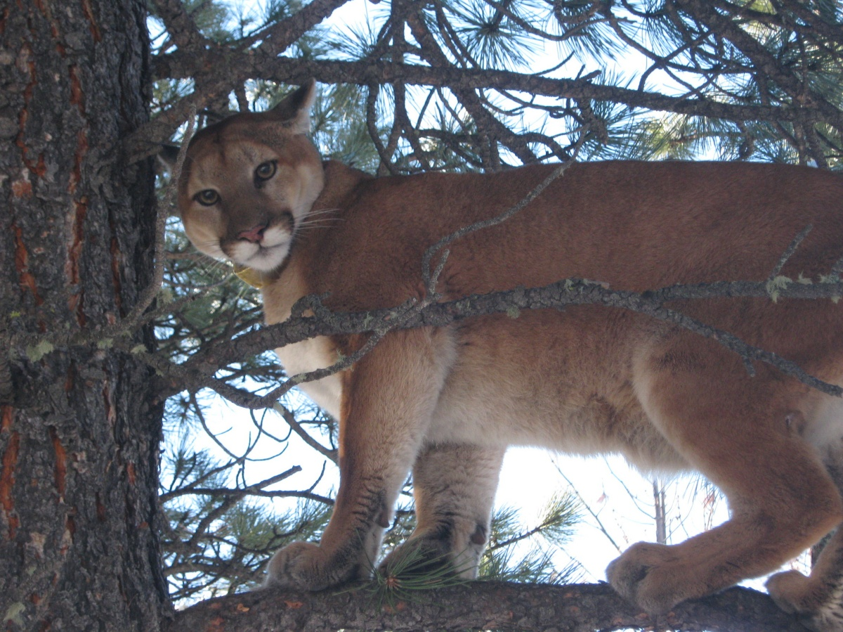 When the Cat's Away: Pumas in the Eastern United States – Part 1