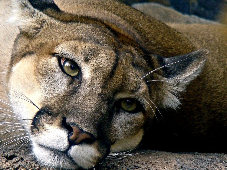 A puma (mountain lion) lying down and looking towards the camera.