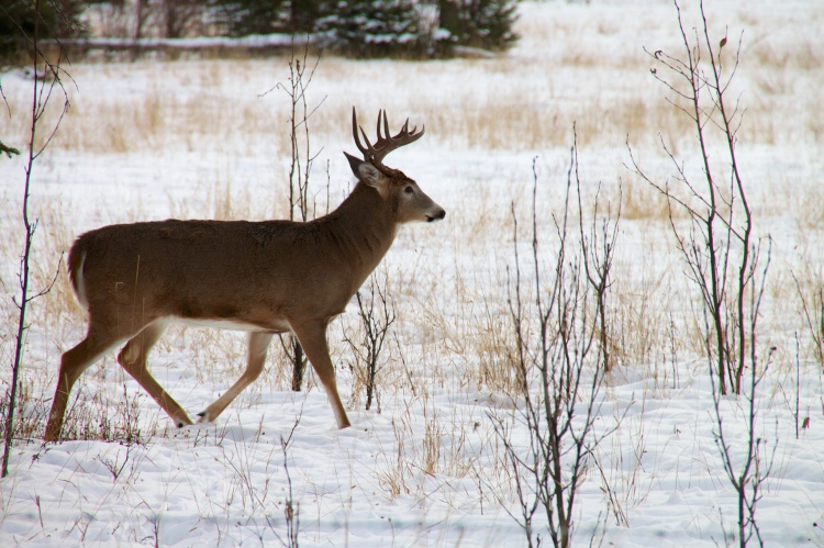 A white-tailed deer in the snow.
