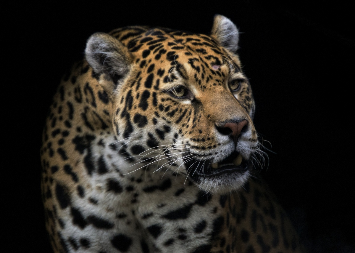 The Shifting Cultural Significance of Jaguars in Colombia