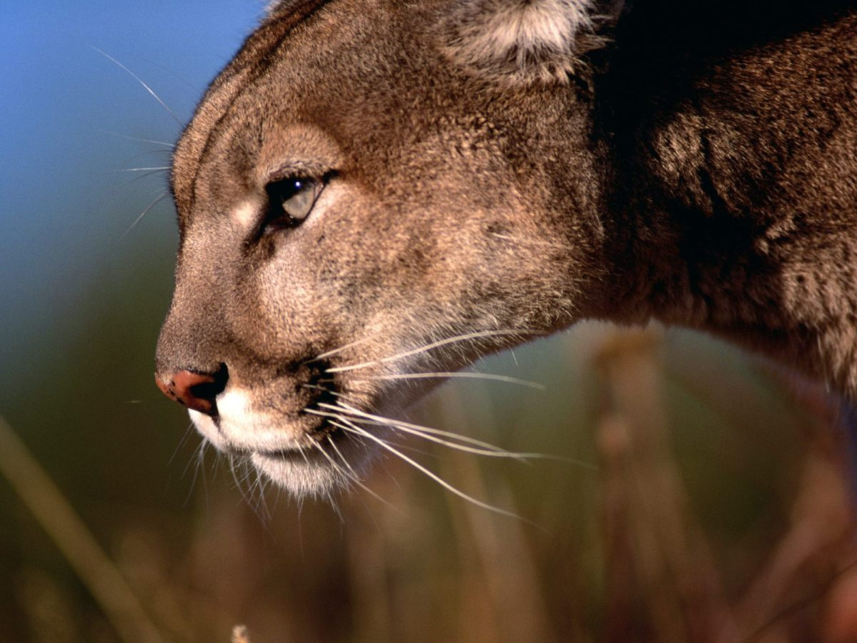 Puma-Livestock Conflicts in Central Argentina