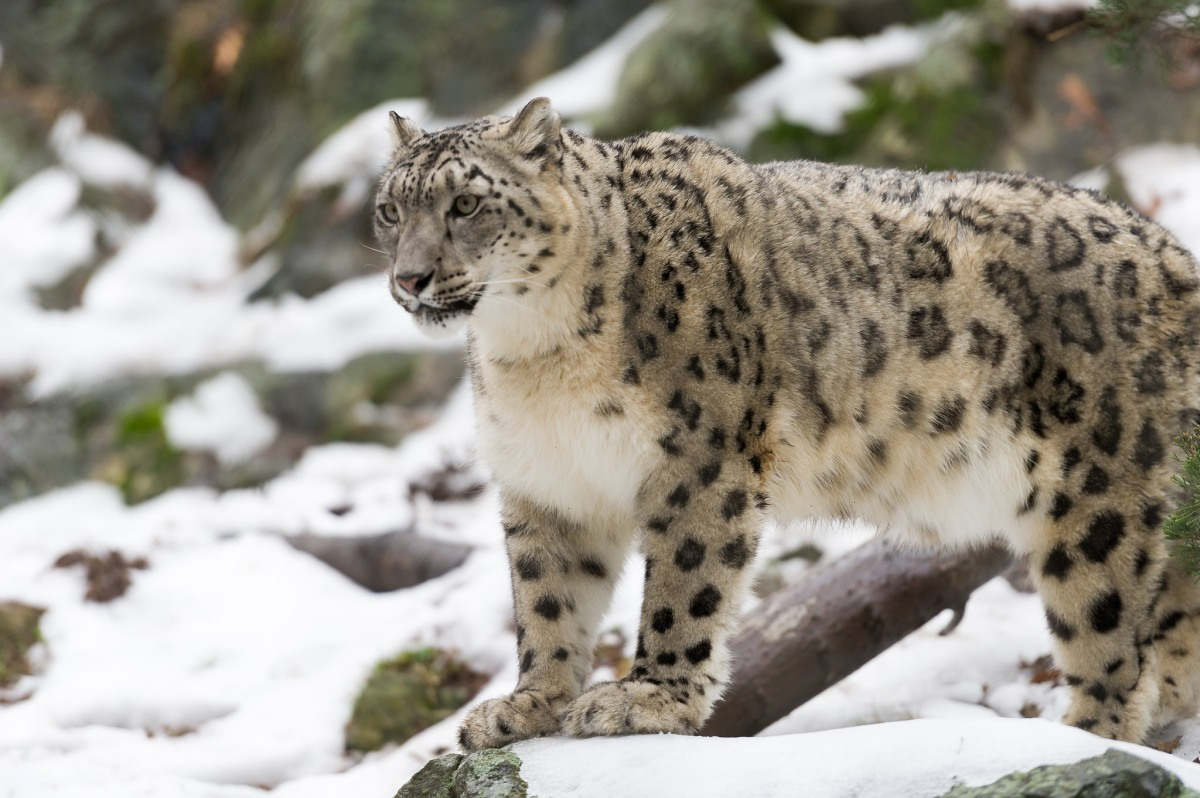 International Snow Leopard Day 2018