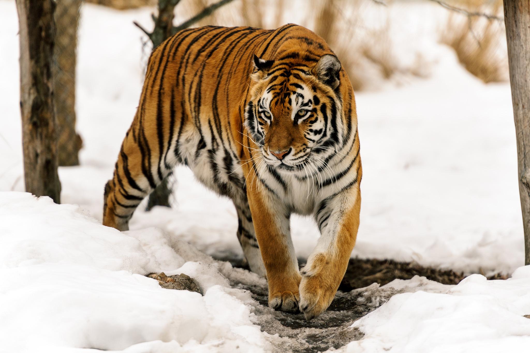 комплектация тигры картинки высокого качества могу