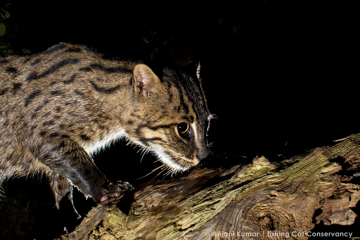 Introducing the Fishing Cat Conservancy: A Fortuitous Meeting