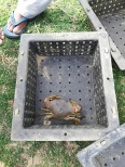 A mangrove crab in a crab-culture box. Image © Fishing Cat Conservancy.
